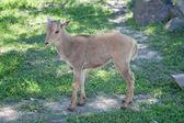 The Barbary Sheep (Ammotragus lervia) baby — Stock Photo