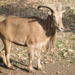 Barbary Sheep — Stock Photo #9930023