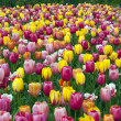 Field with tulips — Stock Photo #10537250