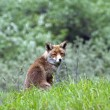 Wild red fox — Stock Photo #10653354