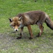 Wild red fox — Stock Photo #10653362