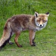 Wild red fox — Stock Photo #10653379
