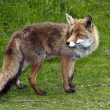 Wild red fox in  forest in Holland — Stock Photo #10653380