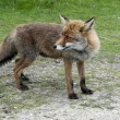 Wil red fox in Holland — Stock Photo #10653391
