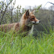 Red wild fox — Stock Photo