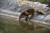 Rood wild fox drinkwater — Stockfoto