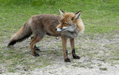 Wil red fox in Holland — Stock Photo