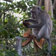 Monkey ubud — Stock Photo