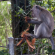 Monkey in ubud - Stock Photo