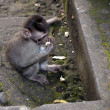 Baby monkey eating - Stock Photo