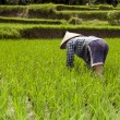 Woman in rice fields Bali — Stock Photo