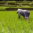 Woman in rice fields Bali — Stock Photo