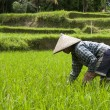 Woman working on the  rice fields — Stock Photo