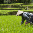 Stock Photo: Woman working on the rice fields