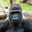 Gorilla — Stock Photo #8457283