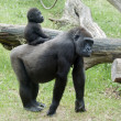 Stock Photo: Baby gorilla