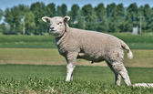 Young Lamb — Stock Photo