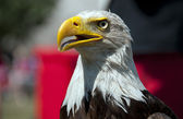 Eagle alert looking — Stock Photo