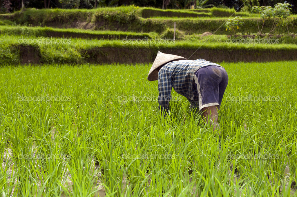 Ubud indonesia bali , woman working in rice fields sawa — Stock Photo #8454603