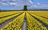 Dutch windmill and tulip fields — Stock Photo