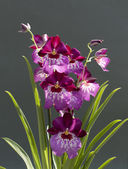 Orchid — Foto Stock