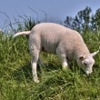 Young sheep in green grass — Stock Photo