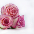 Pink roses — Stock Photo #9461231