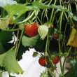Strawberry plant — Foto de stock #10134064