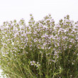 Thyme blossoming — Stock Photo #10135175