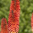 Big red torchlike flowers — Stock Photo #10136272
