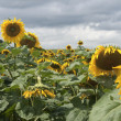 Sunflowers in bad weather — Stock Photo #10138004