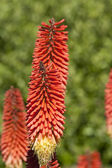 Big red torchlike flowers — Stock Photo