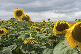 Sunflowers in bad weather — Stock Photo