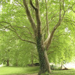 Stock Photo: Green plattrees