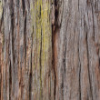 Bark of giant sequoia tree — Stock Photo