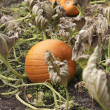 Pumpkins - Stockfoto