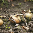Onions in garden — Stock Photo
