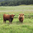 Highland cattle - Stock Photo
