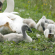 Young swans — Stock Photo #8996750