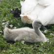 Young swans on grass — Stock Photo