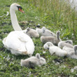 Young swans — Stock Photo