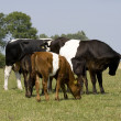 Herd of Lakenvelder cows and calves — Stock Photo