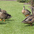 Male and female ducks on grass — Stock Photo