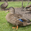 Ducks on grass — Stock Photo