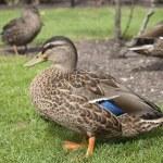 Ducks on grass — Stock Photo
