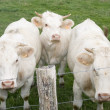 Three nosy charolais cows — Stock Photo