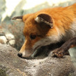 Fox on a rock - Stock Photo