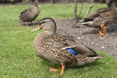 Ducks on grass — 图库照片