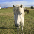 White Icelandic pony — Stock Photo