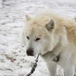 white huskie — Stock Photo